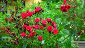 Rode rozen op de regen, waterdalingen, langzame motiemening stock video