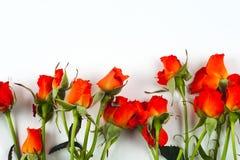 Rode rozen op een witte achtergrond Stock Afbeelding