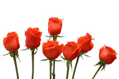Rode rozen op een witte achtergrond Royalty-vrije Stock Foto
