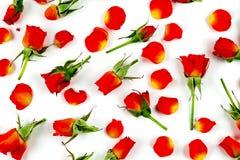 Rode rozen op een witte achtergrond Stock Afbeeldingen