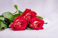 Rode rozen op een witte achtergrond Bloemen voor groeten met Royalty-vrije Stock Afbeeldingen