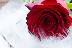 Rode rozen op fluweel Royalty-vrije Stock Foto's
