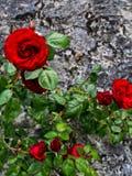 Rode Rozen op Steenmuur Stock Afbeelding