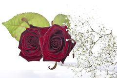 Rode rozen op witte achtergrond royalty-vrije stock foto's