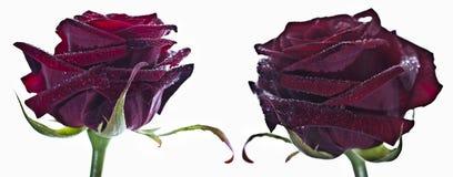 Rode rozen op witte achtergrond Stock Afbeeldingen
