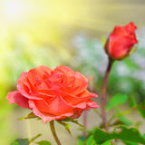 Rode Rozen in Tuin bij de Zomerdag Stock Fotografie