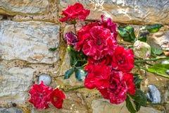 Rode rozenrozen met de achtergrond van de steenmuur Royalty-vrije Stock Foto