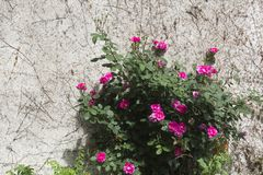 Rode rozenstruik royalty-vrije stock foto's