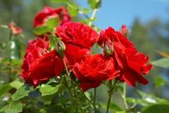 Rode rozenstruik stock afbeelding