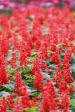 Rode Salvia-bloembloei Stock Foto's