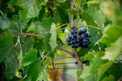 Rode Sangiovese-druif met waterdruppeltjes stock foto's