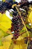Rode sappige druiven Stock Afbeeldingen