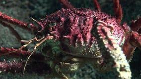 Rode Schaaldier Onderwater stock videobeelden