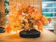 Rode scharlaken van de boom acer palmatum van de bonsaiesdoorn de bonsaiboom van drietandesdoorn in de herfst Royalty-vrije Stock Afbeeldingen