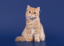 Rode Schotse hooglandkat royalty-vrije stock afbeeldingen