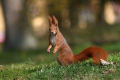 Rode sciurine Royalty-vrije Stock Foto's