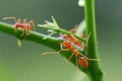 Rode smaragdina van mierenoecophylla Stock Foto's