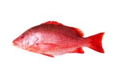 Rode Snapper Vissen stock foto