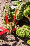 Rode snijbiet of rode mangelwortel Royalty-vrije Stock Afbeeldingen