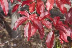 Rode sourwoodbladeren Stock Foto