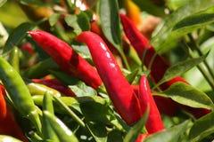 Rode Spaanse peperpeper Royalty-vrije Stock Afbeelding