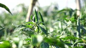 Rode Spaanse peperpeper in de tuin, de stad van DA Lat, Lam Dong-provincie, Vietnam stock footage