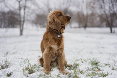Rode spanielzitting in de sneeuw Stock Fotografie