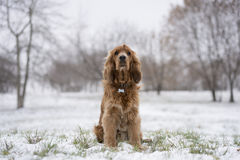 Rode spanielzitting in de sneeuw Stock Afbeelding