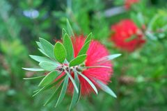 Rode spelden en groene bladeren Royalty-vrije Stock Foto's
