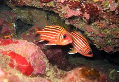 Rode squirrelfish Royalty-vrije Stock Fotografie