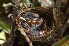 Rode Staart Bulbul bij nest Royalty-vrije Stock Fotografie