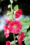 Rode Stokroos of Malve. Stock Afbeeldingen
