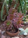 Rode Succulent en cactus in bladeren in botanische tuin stock afbeelding