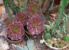 Rode Succulent en cactus in bladeren in botanische tuin stock afbeeldingen