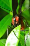 Rode swallowtailvlinder stock afbeelding