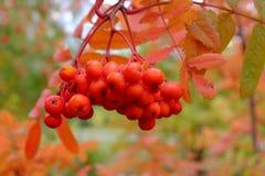 Rode tak van lijsterbes in de herfst Stock Fotografie