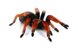 Rode tarantula stock afbeelding