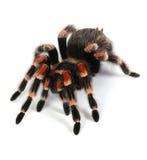 Rode tarantula stock foto's