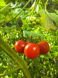Rode tomaat Stock Foto