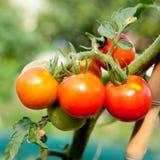 Rode tomaten die op een installatie in de tuin groeien Stock Afbeelding