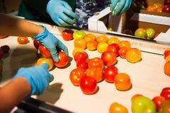 Rode tomaten op plantaardige verwerkingsfabriek Stock Foto