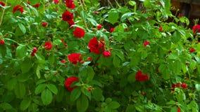 Rode tot bloei komende bloemenrozen stock video