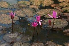 Rode tot bloei komende lotusbloem Royalty-vrije Stock Afbeelding