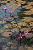Rode tot bloei komende lotusbloem Royalty-vrije Stock Foto's