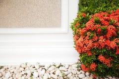 Rode tot bloei komende struik naast een witte muur met exemplaarruimte Stock Foto's
