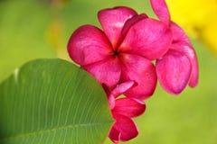 Rode tropische bloem stock foto's