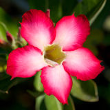 Rode tropische bloem Stock Afbeeldingen