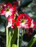 Rode tropische bloemen Stock Foto's