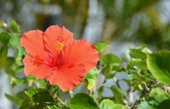 Rode tropische hibiscusbloem stock fotografie