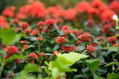 Rode tuinbloemen Stock Afbeeldingen